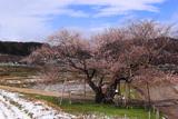 黒川桜林の江戸彼岸桜