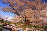 宇木の江戸彼岸桜
