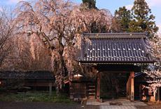 谷巌寺の揺巌枝垂桜