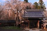 谷厳寺の揺巌枝垂桜