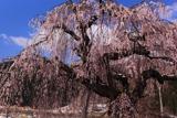 菅十王堂のしだれ桜