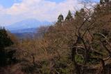柳沢の江戸彼岸桜