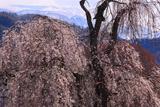 庚の枝垂れ桜