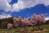 御魂山公園の桜