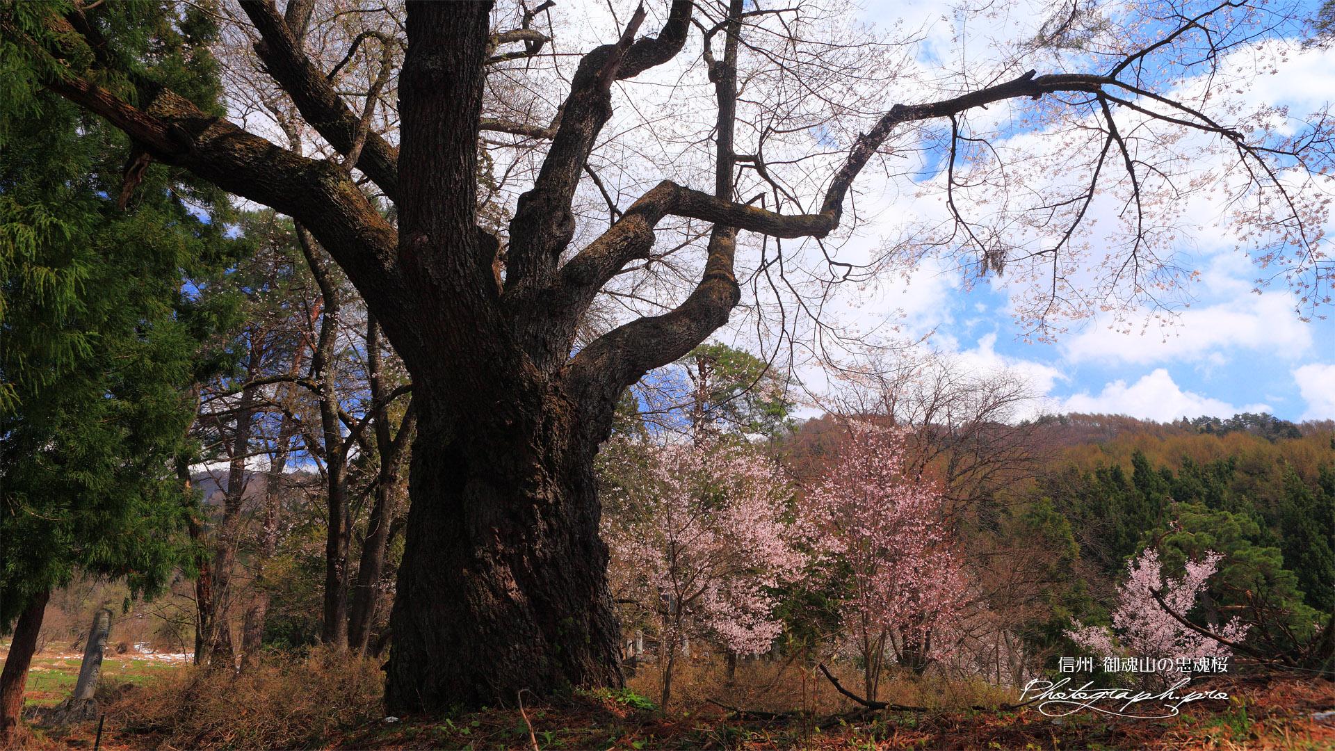 御魂山の忠魂桜