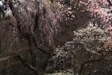 高顕寺のシダレザクラ
