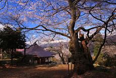 高顕寺の桜
