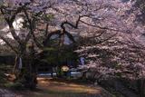 高顕寺のエドヒガン桜