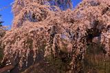 東照寺のしだれ桜