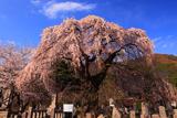 東照寺のシダレザクラ