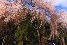 米子神社のシダレザクラ