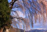 米子神社のしだれ桜