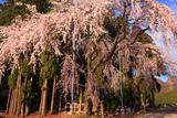 亀倉神社の桜