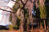 亀倉神社のシダレザクラ