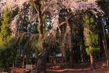 亀倉神社の枝垂桜