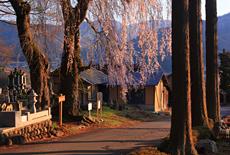 金毘羅山の桜