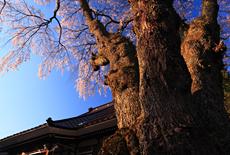 萬龍寺の桜