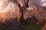 東照寺の枝垂桜