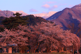 東照寺の桜