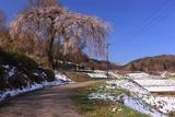 宇山のシダレザクラ