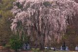星野家墓地のしだれ桜