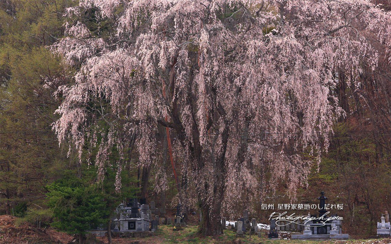 星野家墓地のしだれ桜 壁紙