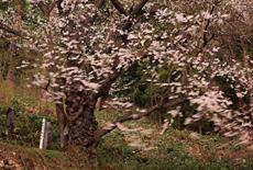 御魂山の神代桜