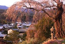 月窓寺のしだれ桜
