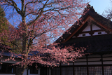 軽井沢町 神宮寺の大山桜