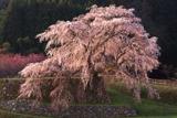 本郷の又兵衛桜