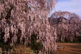 大野寺の小糸枝垂桜