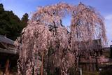 大野寺の小糸枝垂れ桜