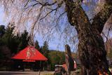 飯山市 小菅の里のシダレザクラ
