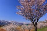 千曲川桜堤の大山桜