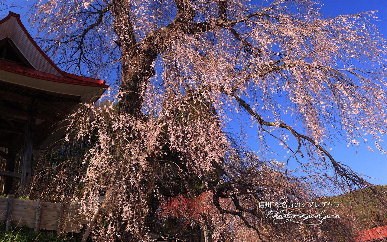 称名寺の枝垂れ桜 壁紙