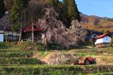 称名寺の枝垂桜