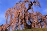 袖之山のしだれ桜