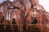 袖之山の枝垂れ桜