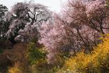 天益寺のしだれ桜