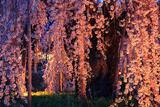 安養寺の柳桜
