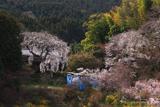 天益寺の枝垂れ桜