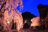 大野寺の糸桜