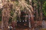 小菅の糸桜