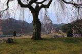 小原の極楽桜