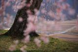小原極楽桜