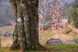 室生小原の極楽桜