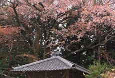 黒川庚申堂のサクラ