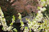 黒川庚申堂の山桜