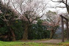 金毘羅神社の山桜