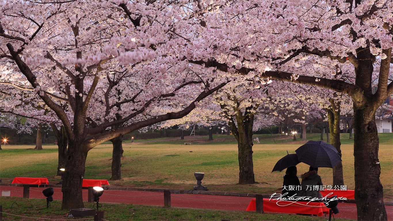 万博記念公園の桜 春雨 壁紙